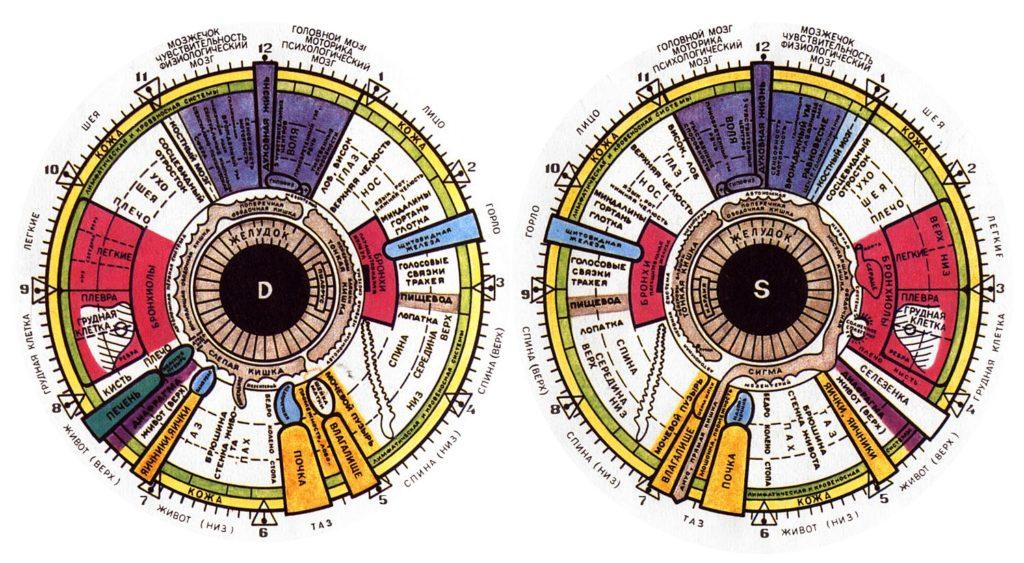 Проекционные зоны в иридодиагностике